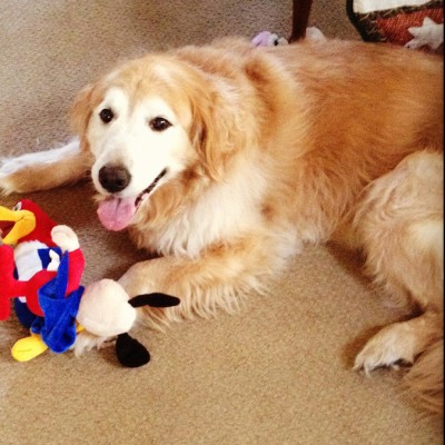 A Golden Retriever laying down next to a woody the woodpecker toy