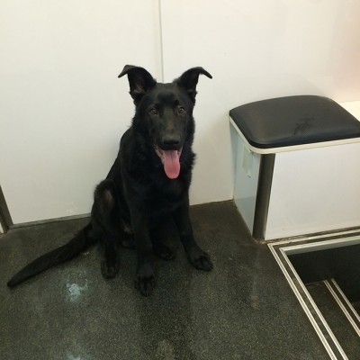 A happy all black dog with is tongue hanging out