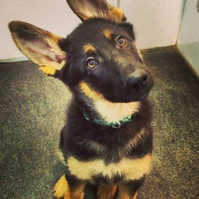 A curious black and tan German Shepherd puppy