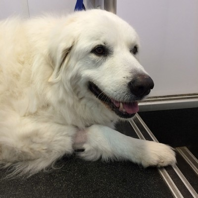 A white golden retriever laying down