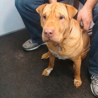 A tan and white Shar Pei mix