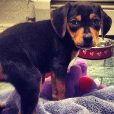 A small black and tan puppy looking back at the camera while playing with a purple stuffed animal