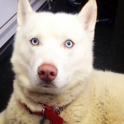 A fluffy white dog with light blue eyes