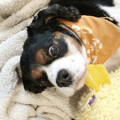 A small black, white and tan dog wearing an orange bandanna