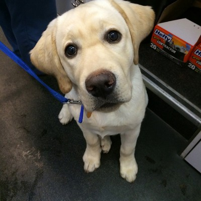 A yellow Labrador looking up at the camera with big brown eyes