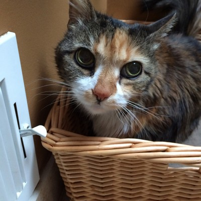 A fluffy black, white and orange calico cat sitting in a basket